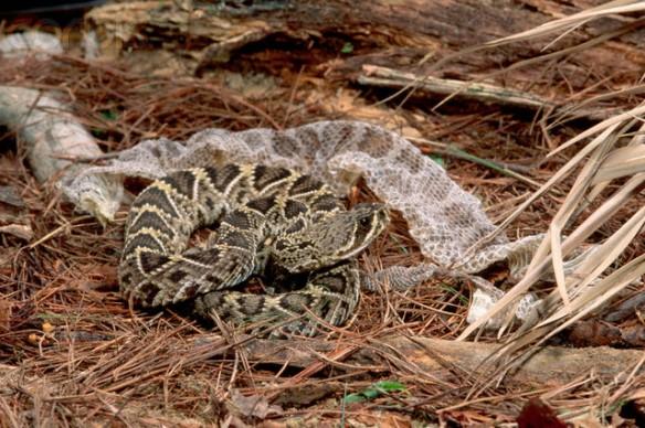 Diamondback Rattlesnake (Crotalus adamanteus) Shedding Skin